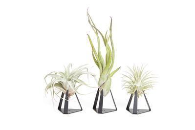 The Tillandz With Air Plants